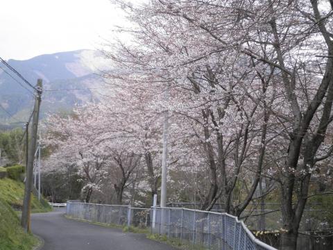 坊坂の桜131
