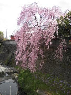 枝垂桜53