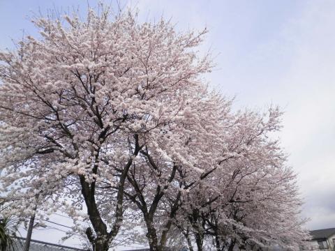 桜満開20