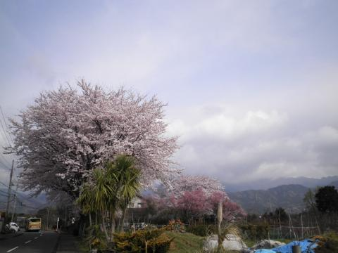 桜と丹沢18