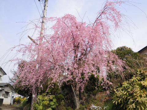 近所の枝垂れ桜12