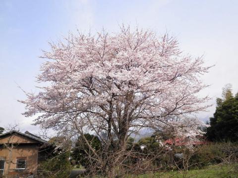 近所の桜06