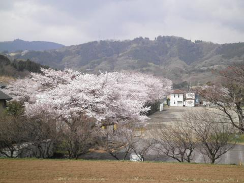 学校の桜139