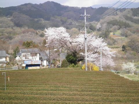 春の茶畑と桜111