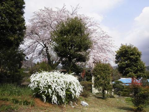 桜と雪柳71