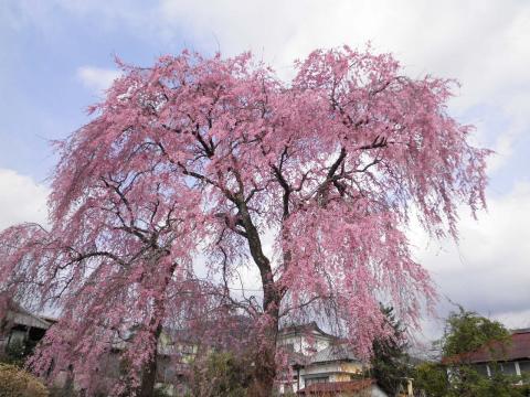 枝垂桜48