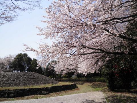 古墳の桜43