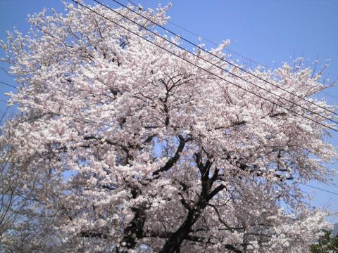 神社の桜28