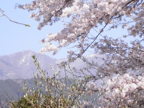 雪割桜09