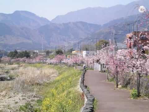 桜並木273