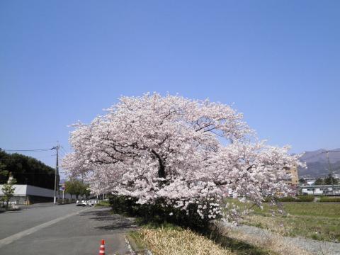 満開の桜78