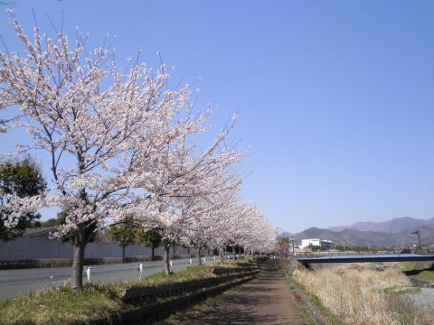 桜並木63