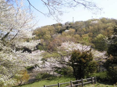 桜と萌黄31