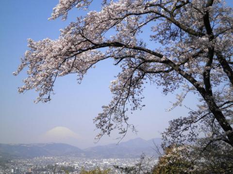 桜と富士48