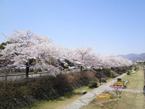 桜並木118