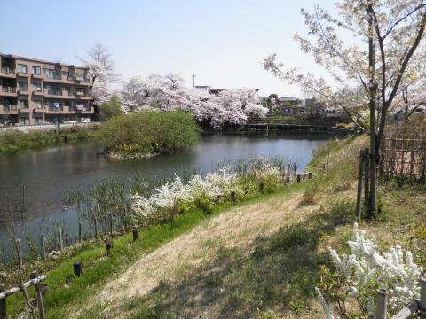 雪柳と桜161