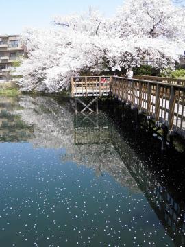 水面の桜159