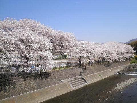 桜並木120