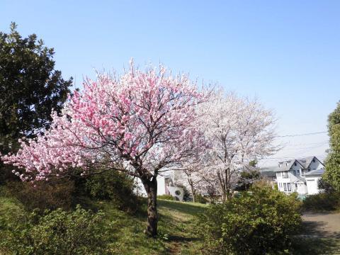 花桃と桜04