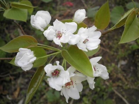 庭の梨の花174