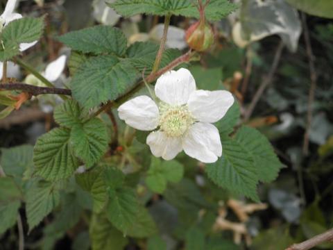 草苺の花179