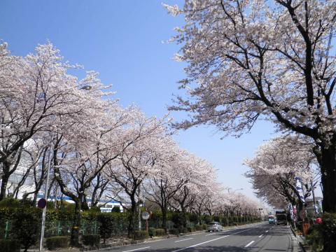 桜並木265