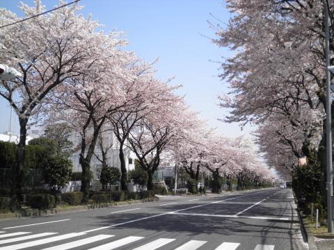 桜並木269