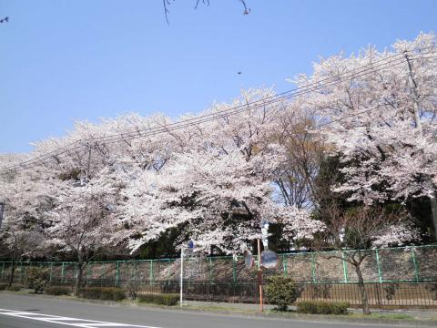満開の桜260