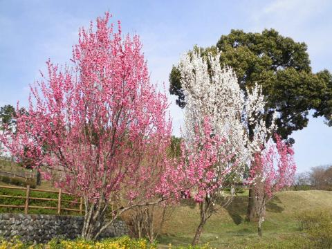 紅白の花桃140