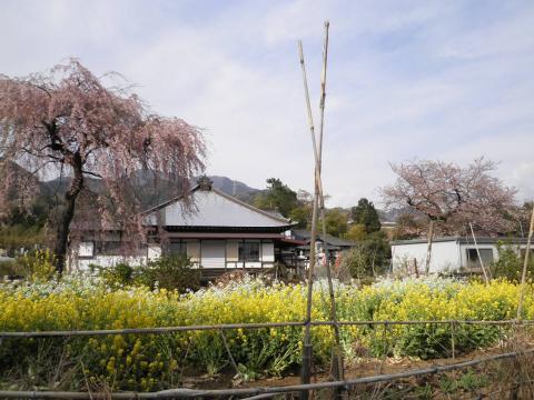 白泉寺の枝垂れ桜05