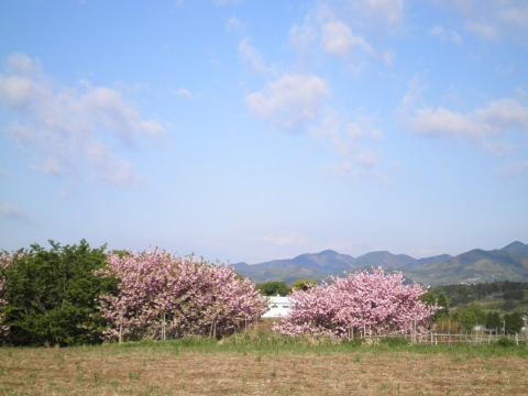 八重桜92