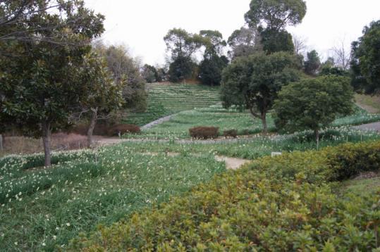 蜻蛉池公園の水仙郷