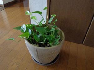 ポトスの新芽を植え込みました
