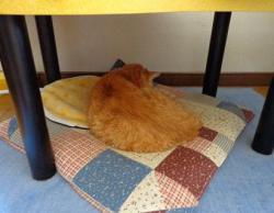 こたつに入れないこじろう。猫ちゃんホットカーペットで。