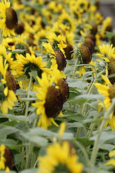 KakiSonflower01