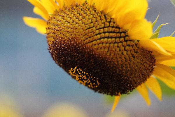 KakiSonflower02
