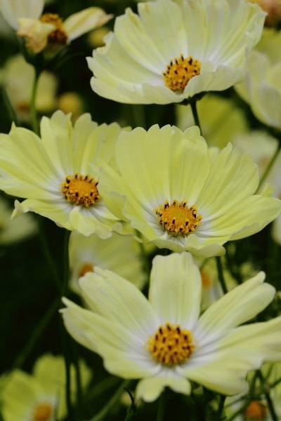花き研究指導室 コスモス 141012 005