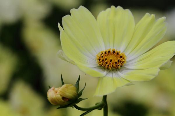 花き研究指導室 コスモス 141012 025