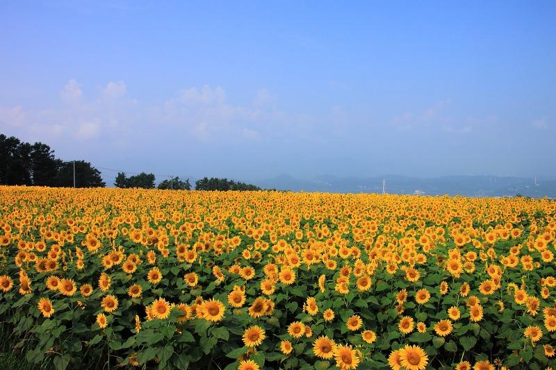 2012年7月28日 明野ひまわり005