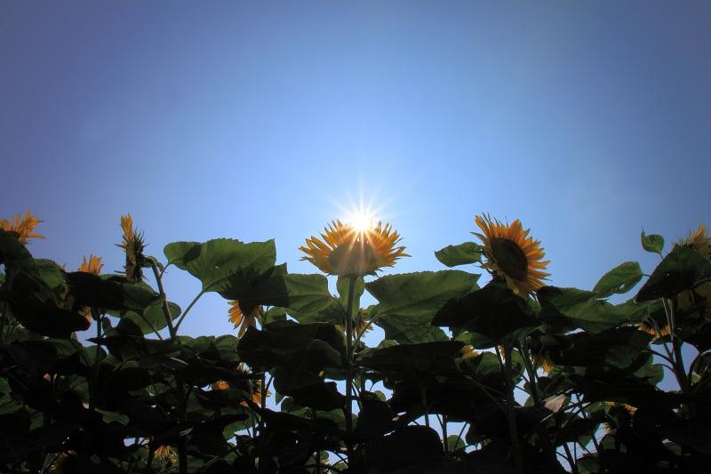 2012年7月28日 明野ひまわり011