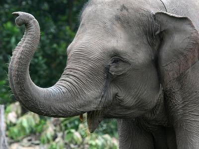 Asian_Elephant.jpg