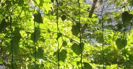 まだ小さい葉たちです・・・