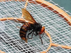 スズメバチの女王