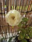 Rose 0821