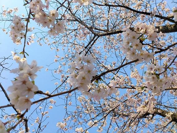 桜2012