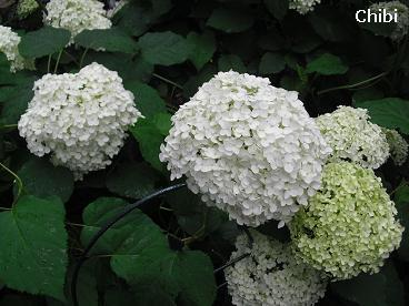 2012_6_21_ajisai01.jpg