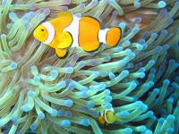 800px-Common_clownfish.jpg