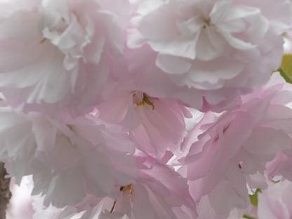 ちょうちん桜
