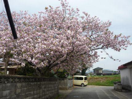 ちょうちん桜2