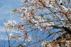 2011.4.17平安神宮⑥
